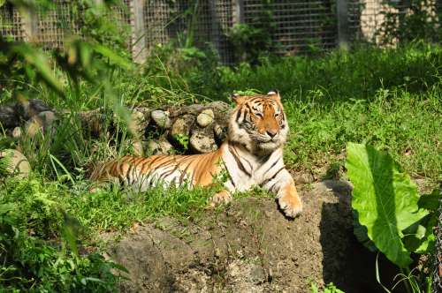 Squinting tiger