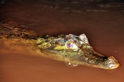 Spectacled Caiman at Explorers' Inn