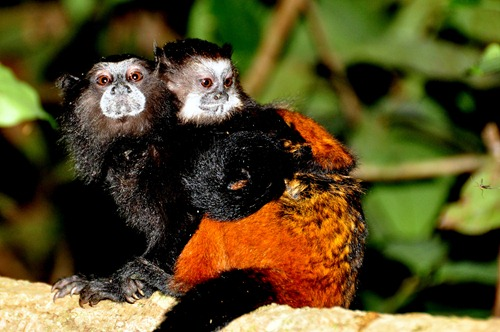 Saddleback Tamarin Monkeys