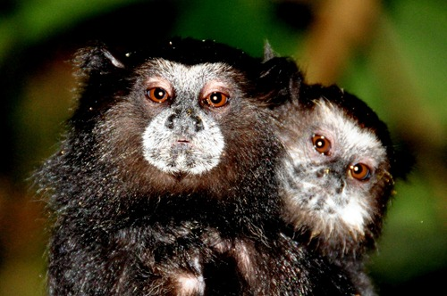 Saddleback Tamarin Monkeys - Dad and Baby