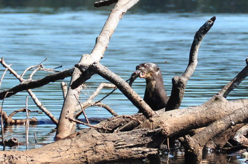 Giant River Otter dining on a meal of fish