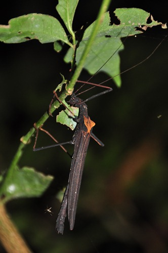 Stick Insect having a Leaf for Dinner