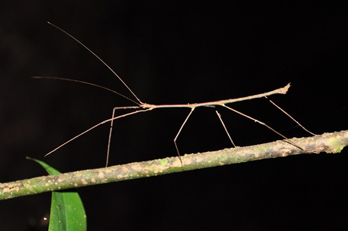 Stick Insect Hiding in Plain Sight