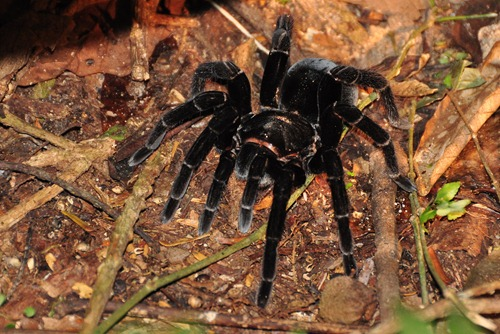 Giant Rainforest Spider