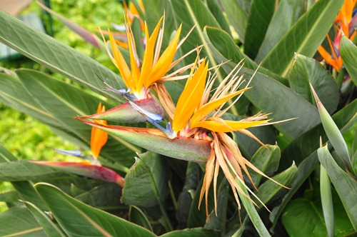 Birds of Paradise at Poipu Kai