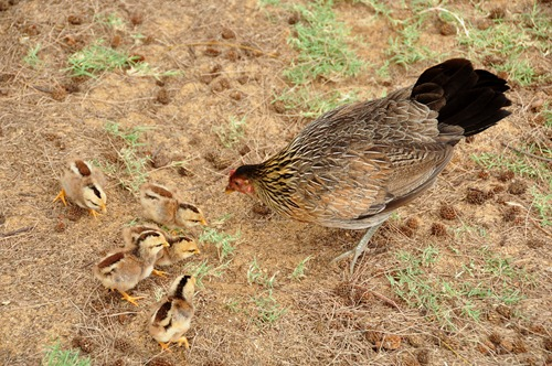 Cute Kauaian Chicks
