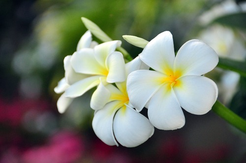 Beautiful flowers at the Villas at Poipu Kai