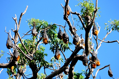 Bats on a tree in Sydney Botanical Gardens