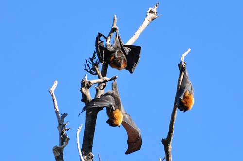 Sleepy bats in Sydney Botanical Gardens