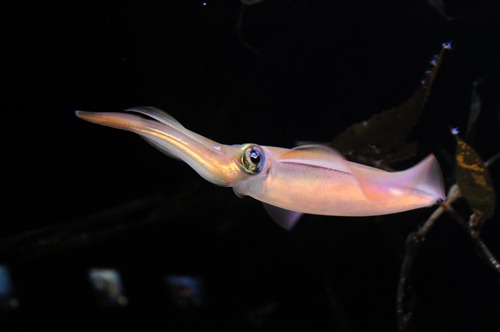 Squid in Sydney Aquarium