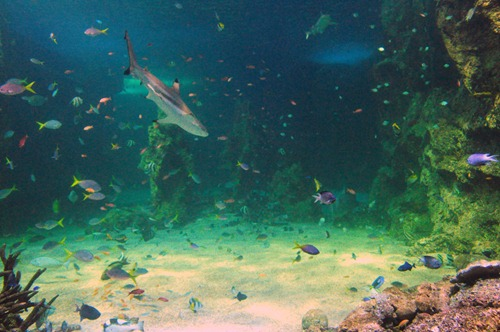 Shark and small fishies in Sydney Aquarium