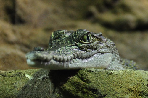 Baby Crocodile in Sydney Wildlife World
