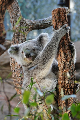 An AWAKE Koala in Sydney Wildlife World
