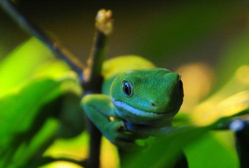 A green tree gecko in Rainbow Park, Rotorua