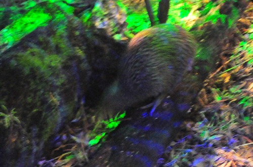 A kiwi bird at Rainbow Park in Rotorua