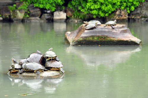Why are these turtles crowding onto this rock?