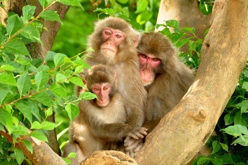 Japanese Monkey Family Portrait