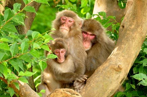Japanese Monkey Family Portrait