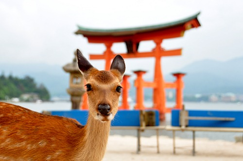 Deer in front of the Torii