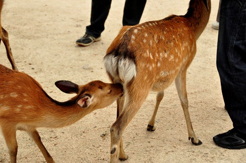 Tail-sniffing deer