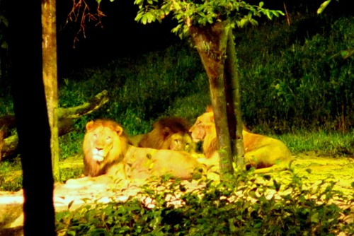 Distant lions at the Singapore Night Safari