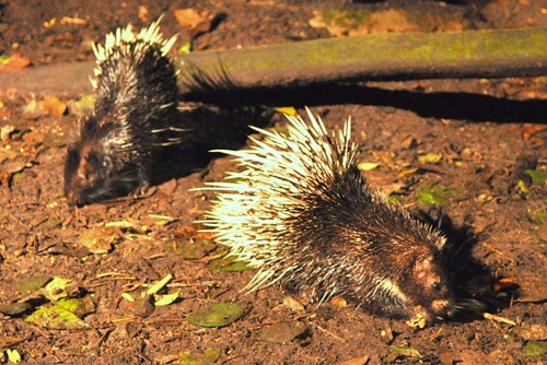 Porcupines rooting for food and squabbling occasionally