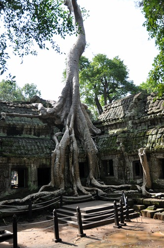 Tree growing on an Angkor temple