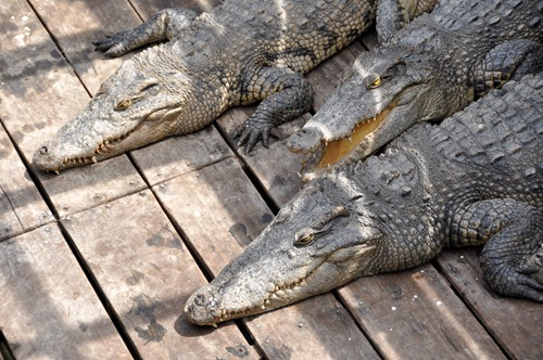 Crocodile farm - really pitiful looking crocs destined for handbags and barbecues
