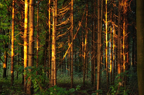 Pines in beautiful evening light