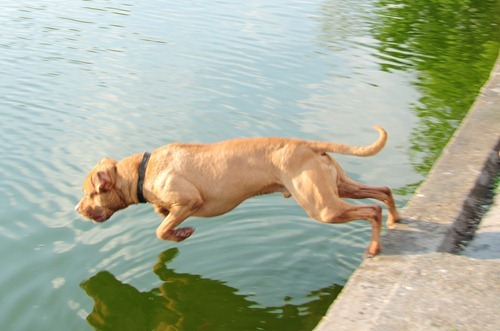 Dog in mid-dive