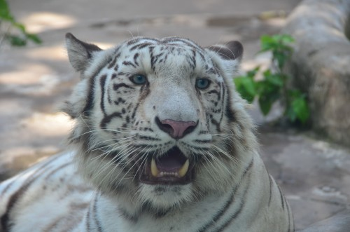 White Tiger with blue eyes at Saigon Zoo